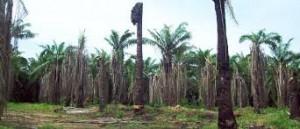Serangan Ganoderma Pada Kelapa Sawit