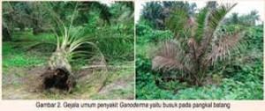Serangan Trichoderma Pada Pohon Kelapa Sawit