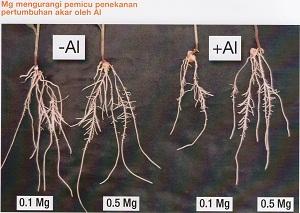 Magnesium mengurangi emicu penekanan pertumbuhan oleh Alumunium (Al)