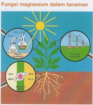 Fungsi Magnesium dalam tanaman
